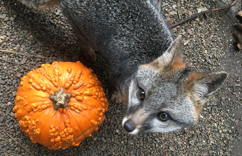 hdm gray fox