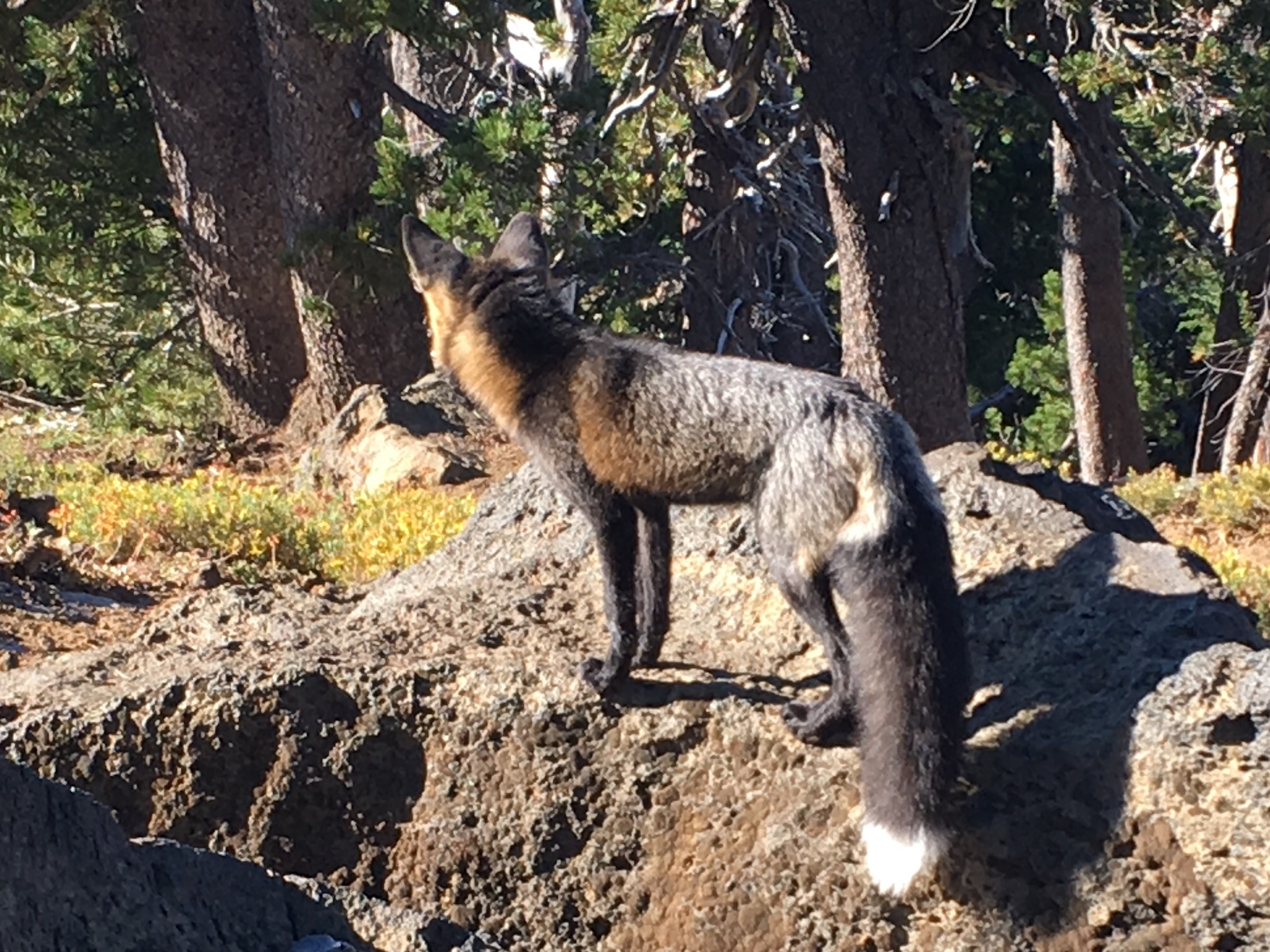 Natural History Pub: Tracking the Sierra Nevada Red Fox @ McMenamins Old St. Francis School | Bend | Oregon | United States