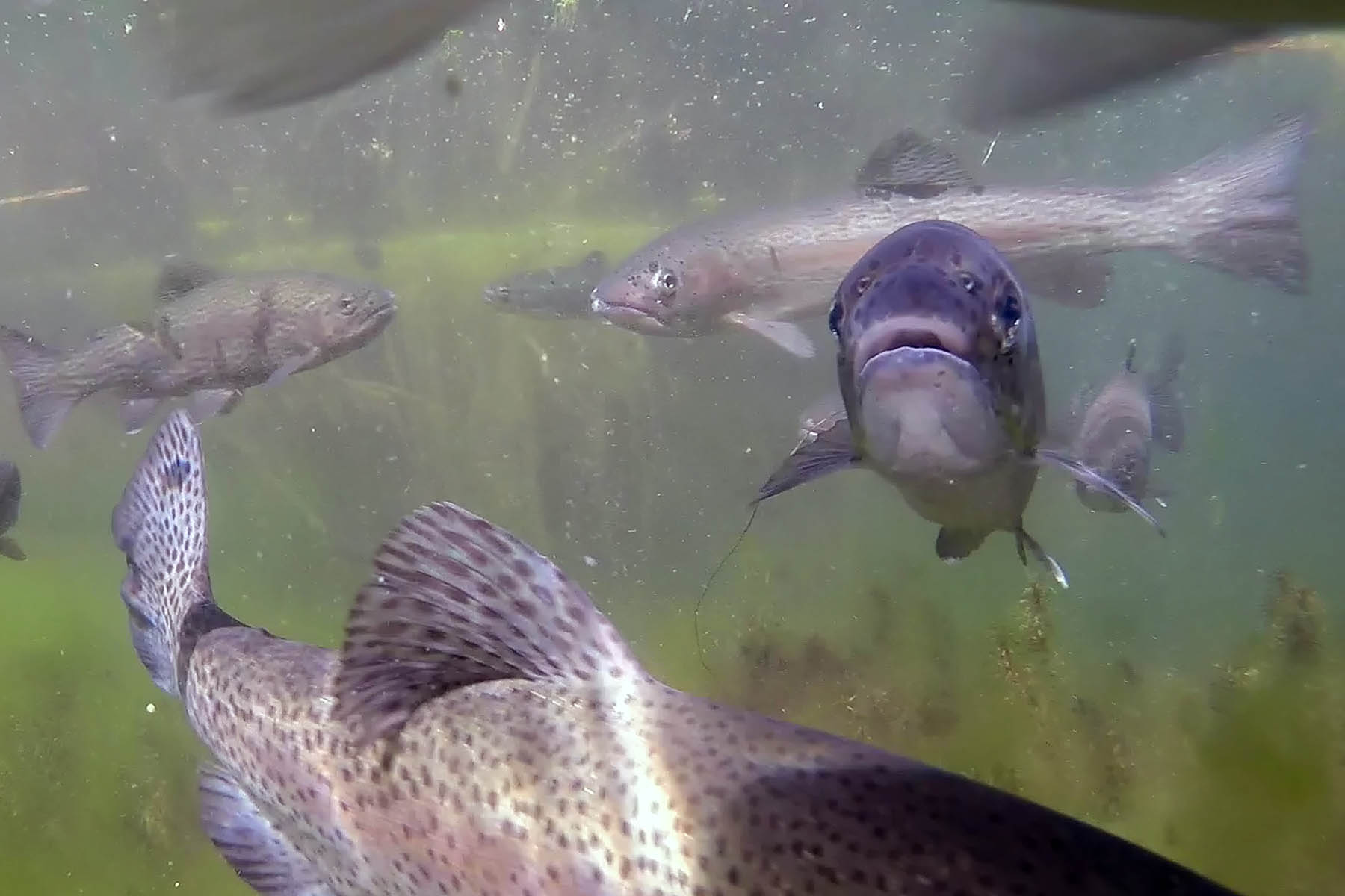 Natural History Pub: Native Fish @ The High Desert Museum | Bend | Oregon | United States
