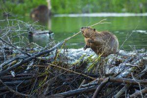 Exhibition Closing: Dam It! Beavers and Us @ High Desert Museum